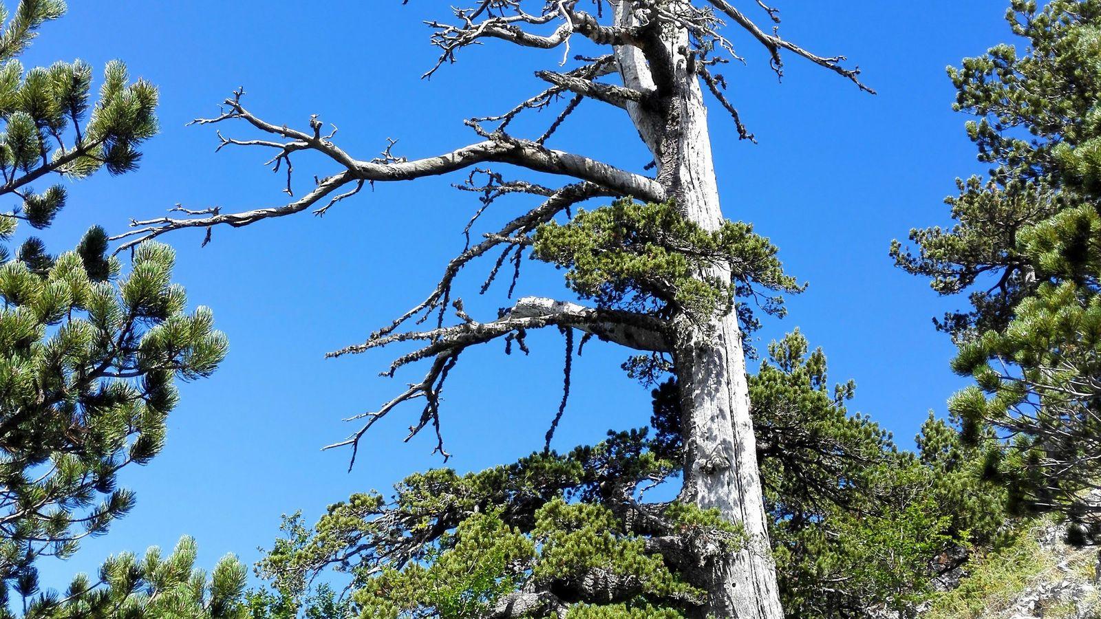 Cientistas determinaram a idade deste pinheiro de Heldreich, de 1.230 anos, apelidado de Italus, usando uma ...