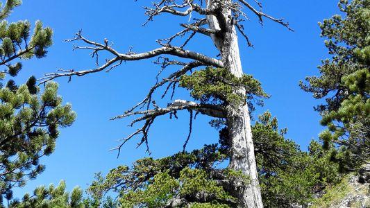 Encontrada árvore mais antiga da Europa – e ela está tendo um estirão de crescimento