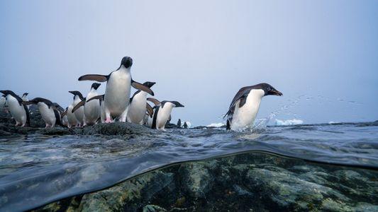 Pinguins antárticos encontram um aliado inusitado: os pescadores