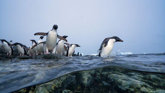 Pinguins-de-Adélia novatos se preparam para seu primeiro mergulho. Logo, eles vão aprender a caçar o krill, ...