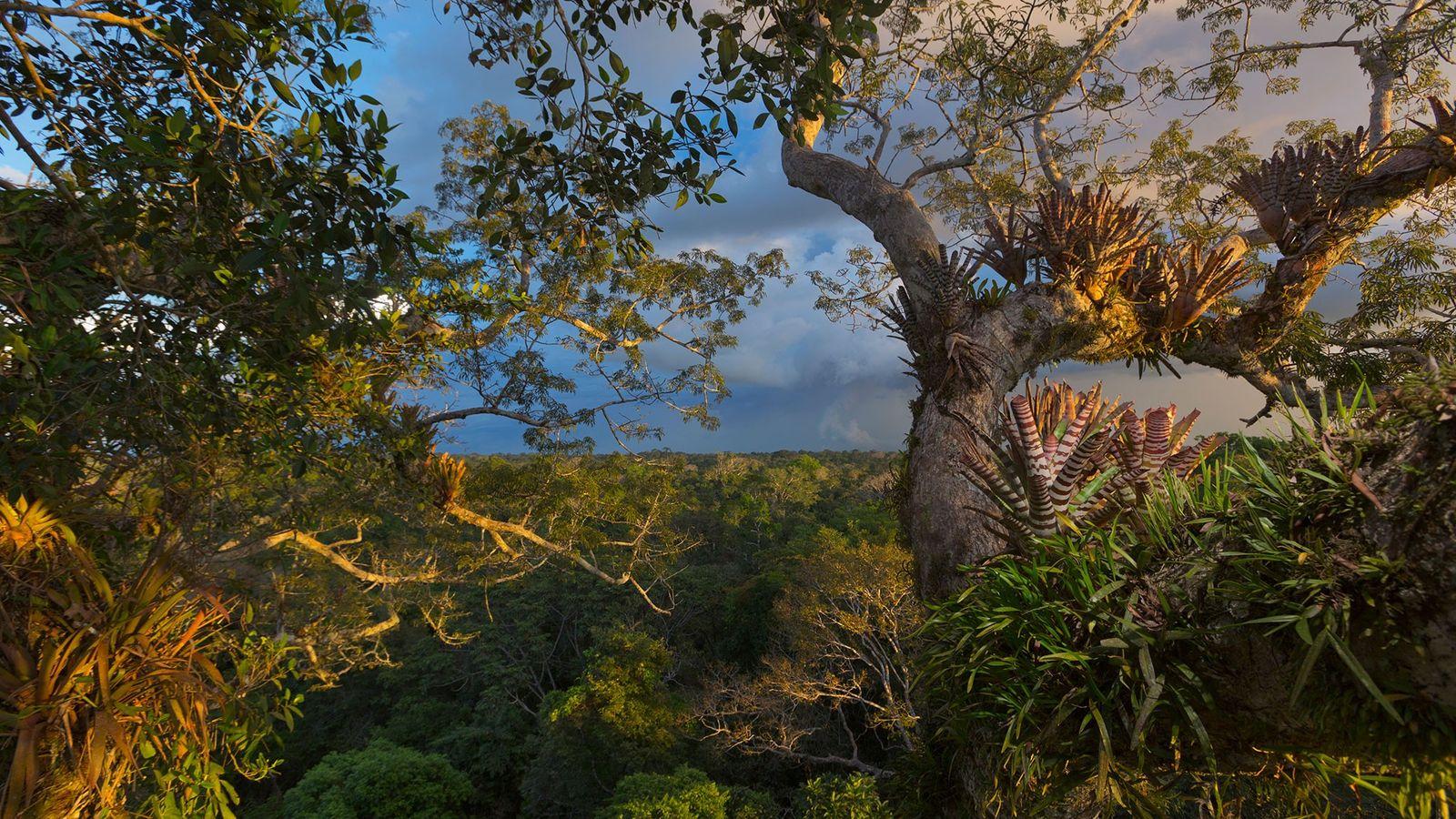 Bromélias, samambaias e orquídeas cobrem uma mafumeira no Parque Nacional Yasuní, no Equador. A região é ...