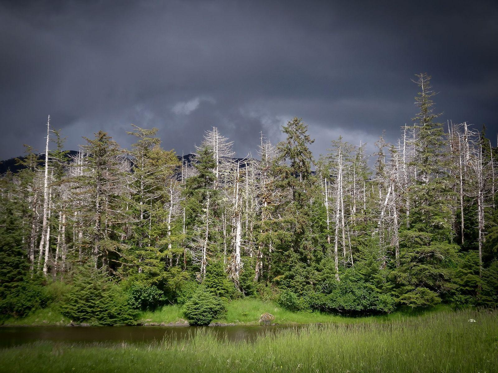 O que a morte em massa de uma árvore icônica nos revela sobre as mudanças climáticas