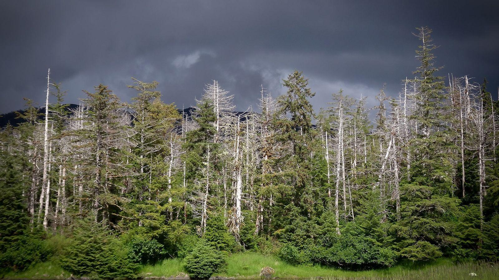 Cedros amarelos mortos, mas ainda em pé, podem ser vistos na floresta de Slocum Arm, no ...