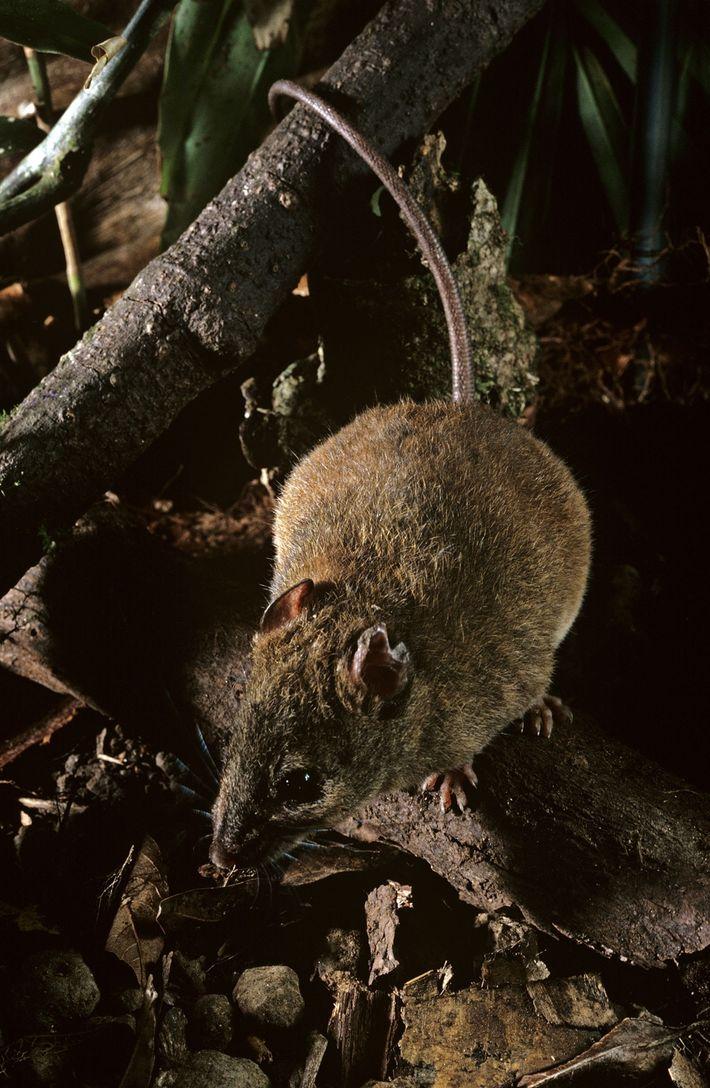 Esta espécie de roedor do gênero Melomys é parente da que os cientistas afirmam ter se ...