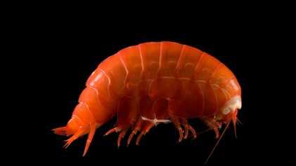 Criaturas das mais profundas fossas oceânicas estão se alimentando de plástico