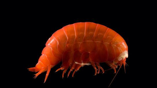 Os anfípodes do mar profundo, como esta pequena criatura semelhante a um camarão, estão ingerindo pedaços ...