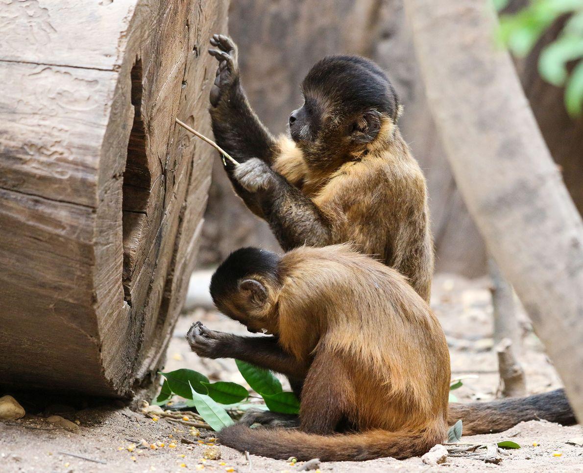 Macacos-prego brasileiros estão em sua própria 'idade da pedra' há 3 mil anos
