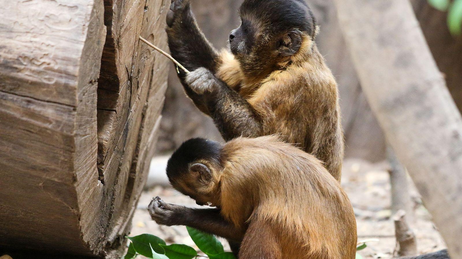 Os macacos-prego que vivem na natureza na Serra da Capivara, no Brasil, fazem ferramentas de pedra ...