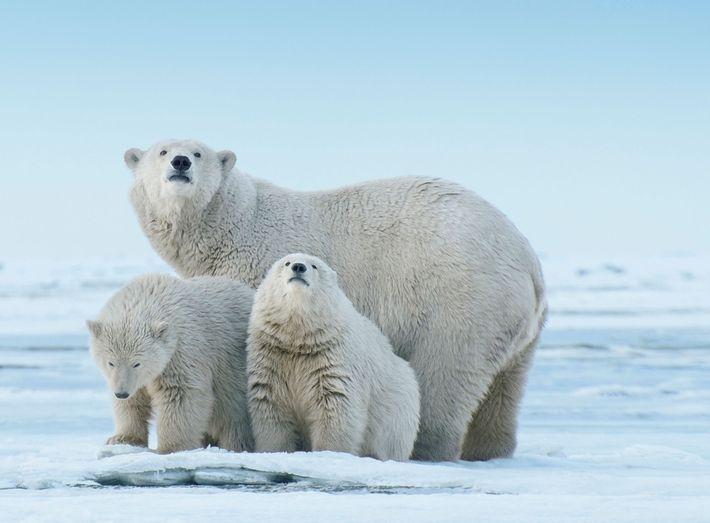 Um urso polar e seus filhotes exploram uma parte da terra que se projeta no Mar ...