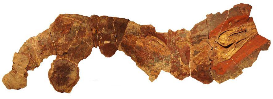 Este fóssil de antigo tubarão do gênero Phoebodus foi encontrado no Marrocos.
