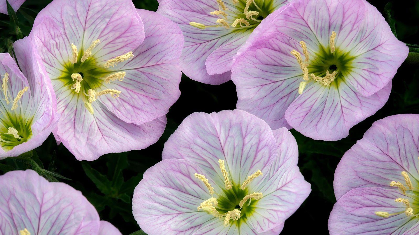 O formato côncavo das flores de prímula-da-noite pode ser uma peça-chave para sua capacidade acústica.