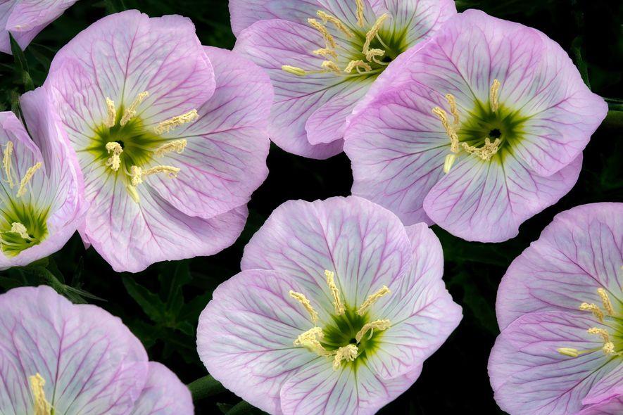 Flores podem 'ouvir' o zumbido de abelhas — e deixar seu néctar mais doce