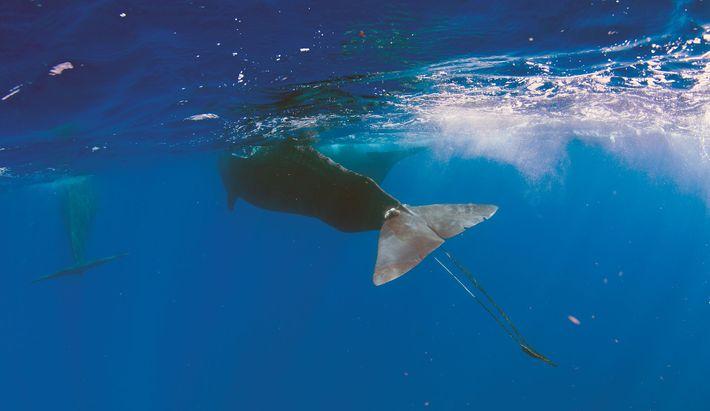 Digit quase morreu nessa provação. Muitos outros mamíferos marinhos não sobrevivem aos encontros com lixo oceânico.