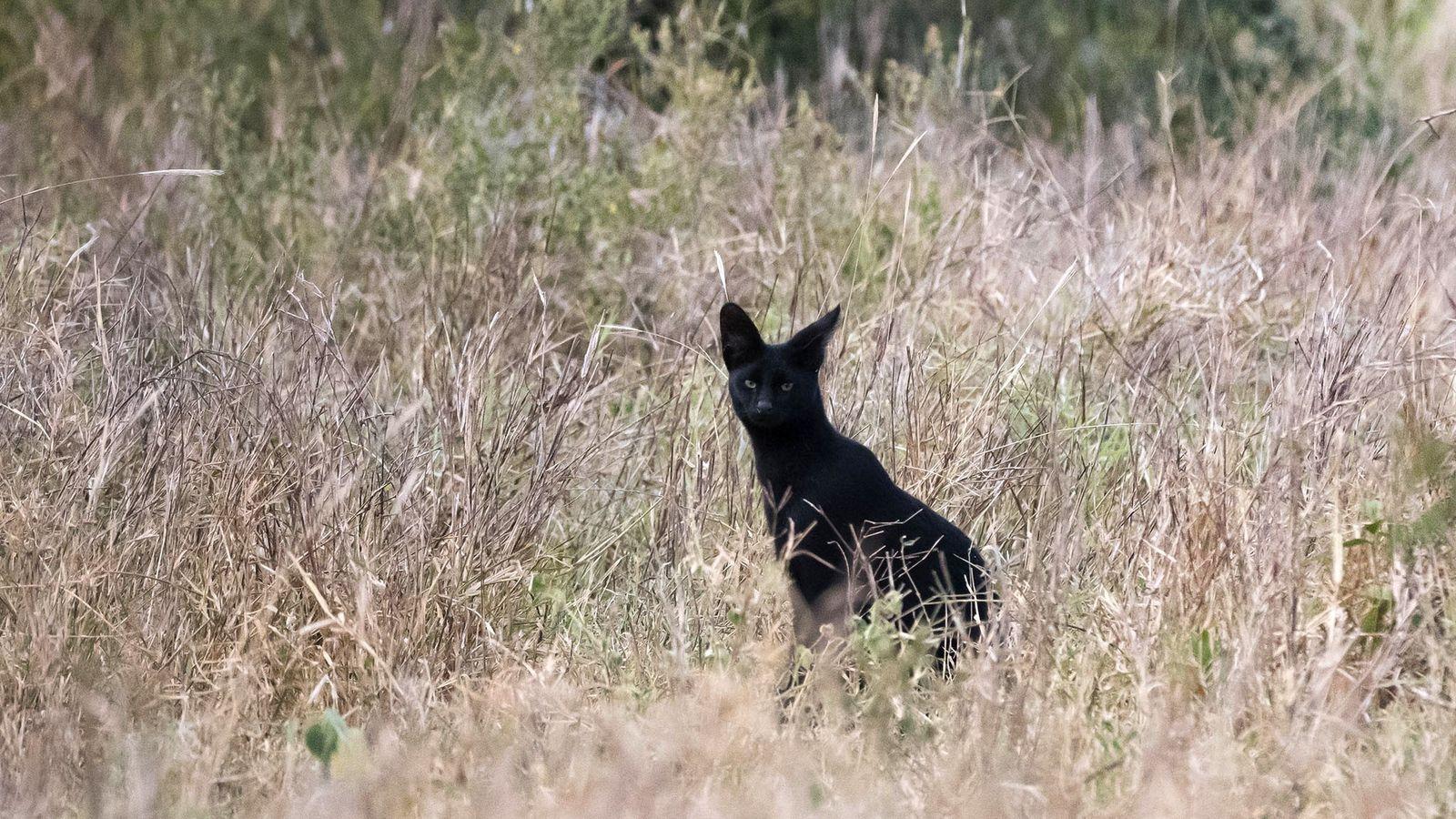 Serval negro raro fotografado no Quênia