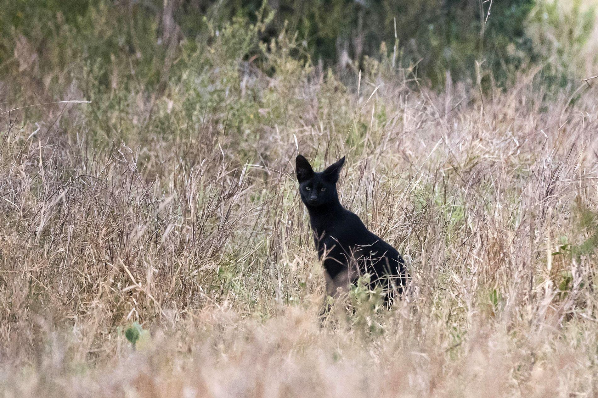 Pouco se sabe sobre o serval negro queniano fotografado em fevereiro de 2017, incluindo seu sexo.