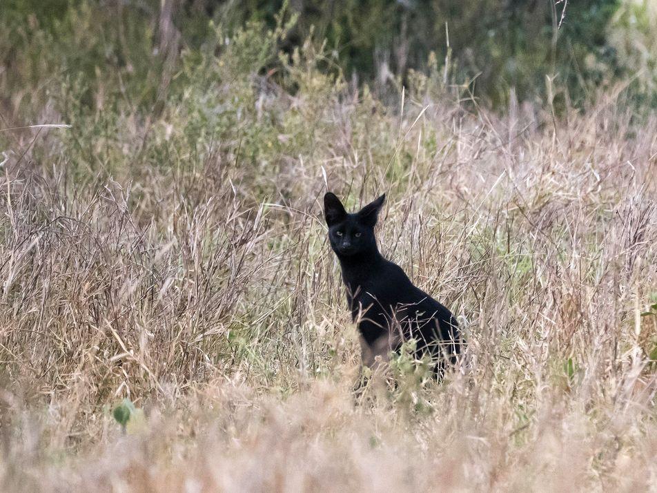 Exclusivo: felino selvagem, negro e raríssimo é registrado no Quênia