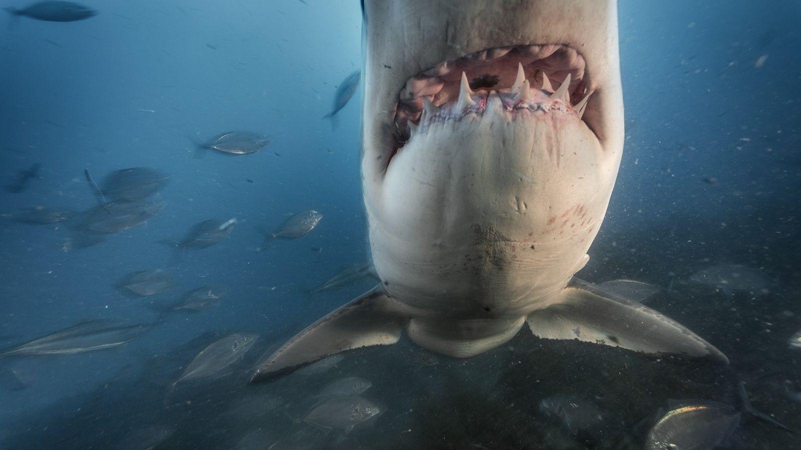 Tubarões-brancos nas águas do sul das Ilhas Netuno, na Austrália.