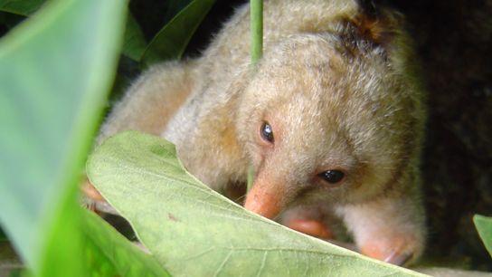 tamanduá anões - espécies descobertas