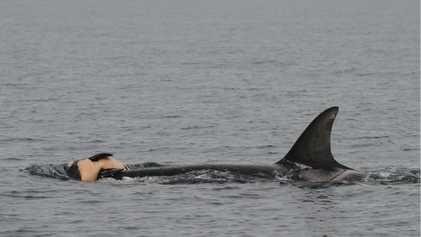 Baleias, orcas e golfinhos choram por seus mortos, assim como nós