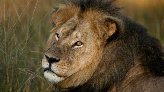 Cecil estava sendo estudado por cientistas da Universidade de Oxford e usava um colar de GPS ...