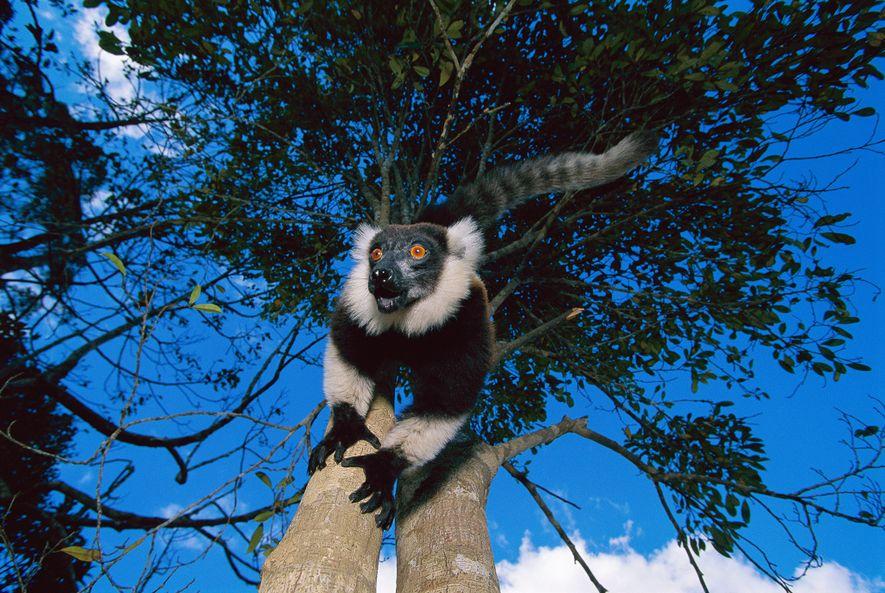 LÊMURE-DE-COLAR Um lêmure-preto-e-branco-de-colar escala uma árvore no Parque Nacional de Mandatia, em Madagascar. Por terem facilidade ...