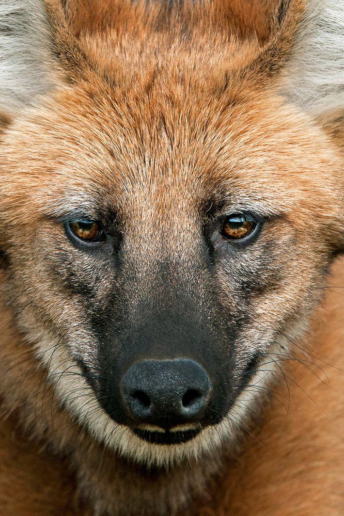 Há muitas histórias místicas sobre o olhar encantado e hipnotizante do lobo-guará. Entre os xavantes, uma lenda ...