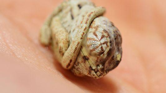 Fotos incríveis: bebê camaleão não sabe que saiu do ovo