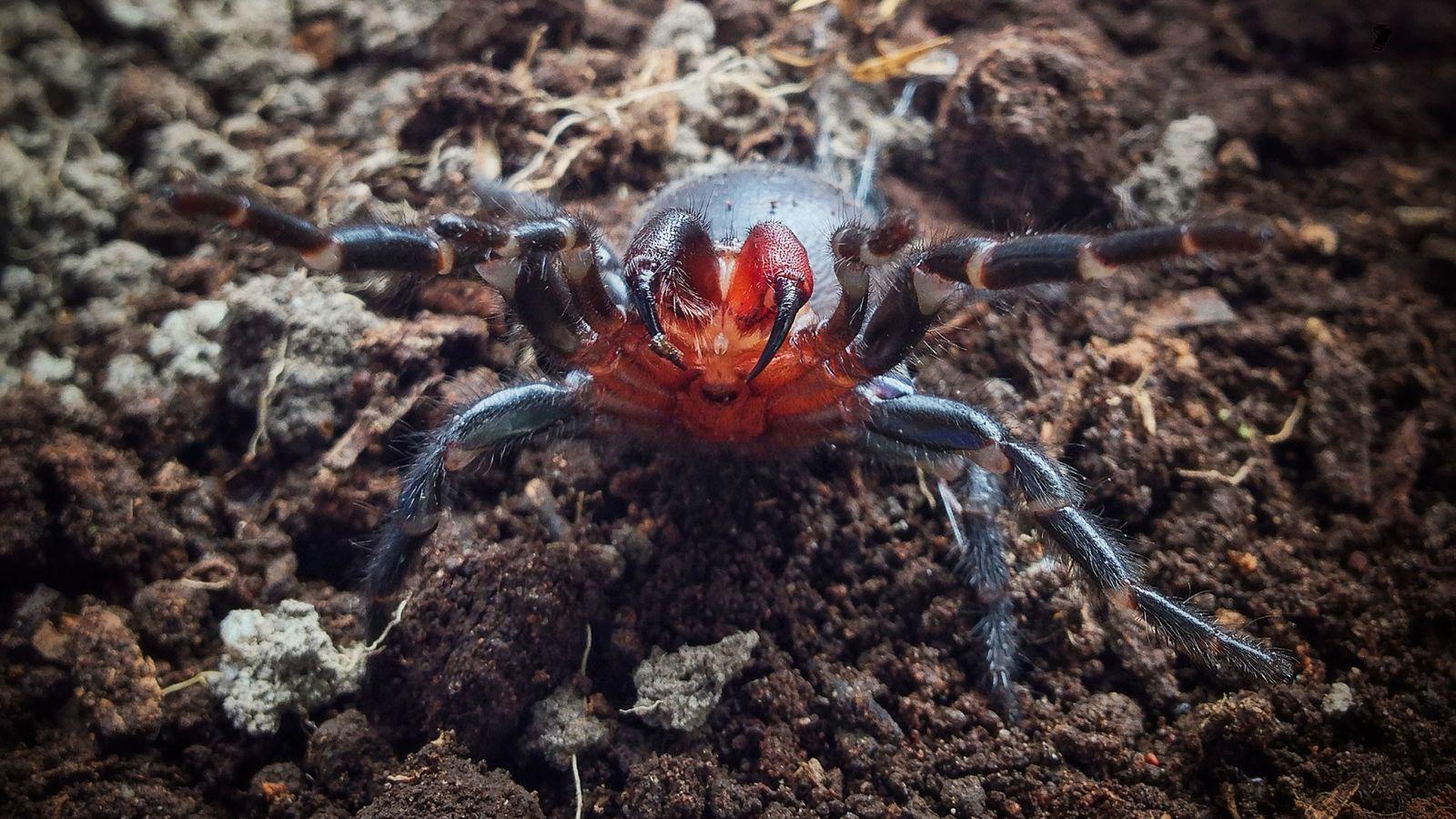 Espécie de aranha com 2 cores