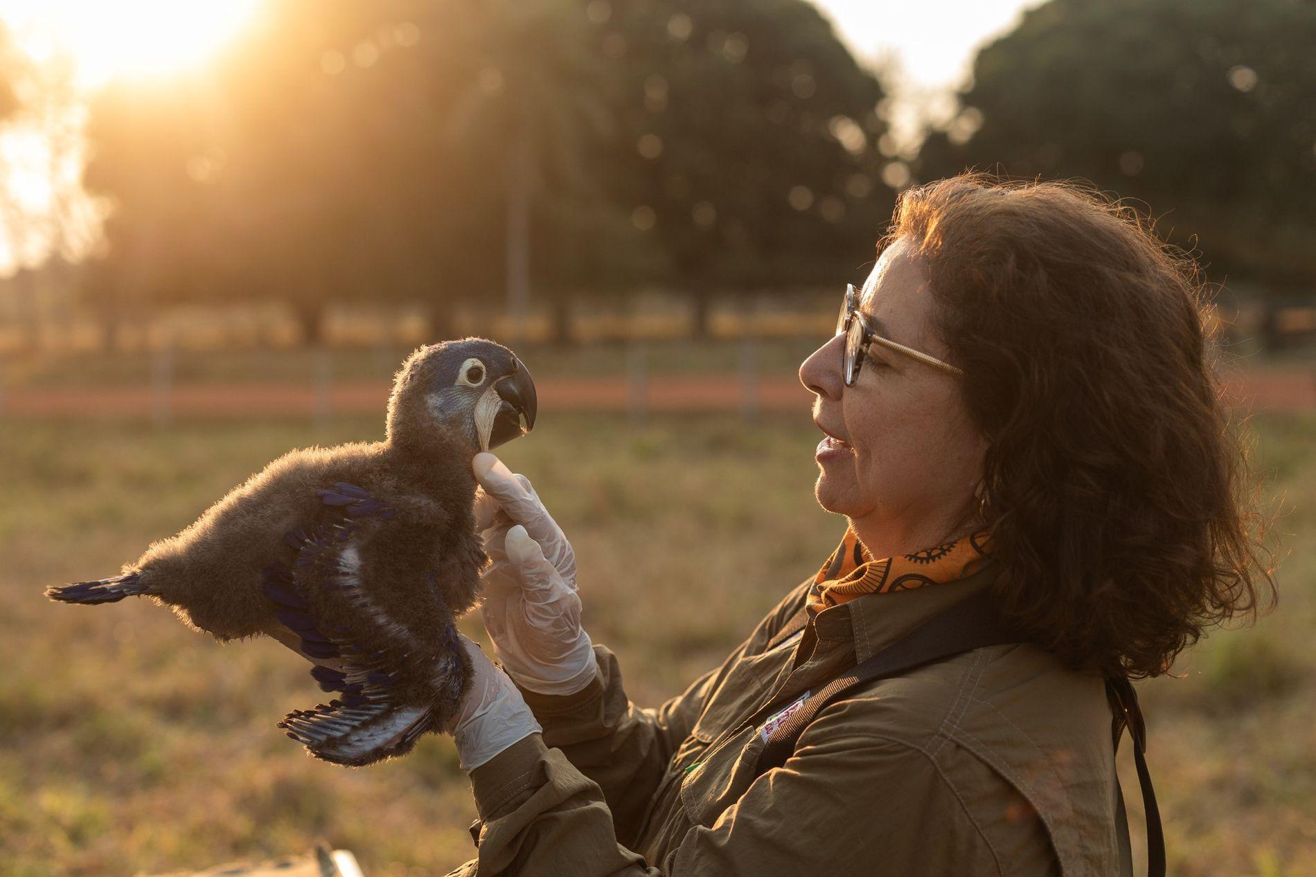 A bióloga Neiva Guedes avalia um filhote de arara-azul após coletar seus dados e amostras. Ela é presidente do Instituto Arara-azul – que trabalha na conservação da espécie há mais de 30 anos – e conhece como poucos os desafios para proteger uma das aves mais emblemáticas do Brasil.