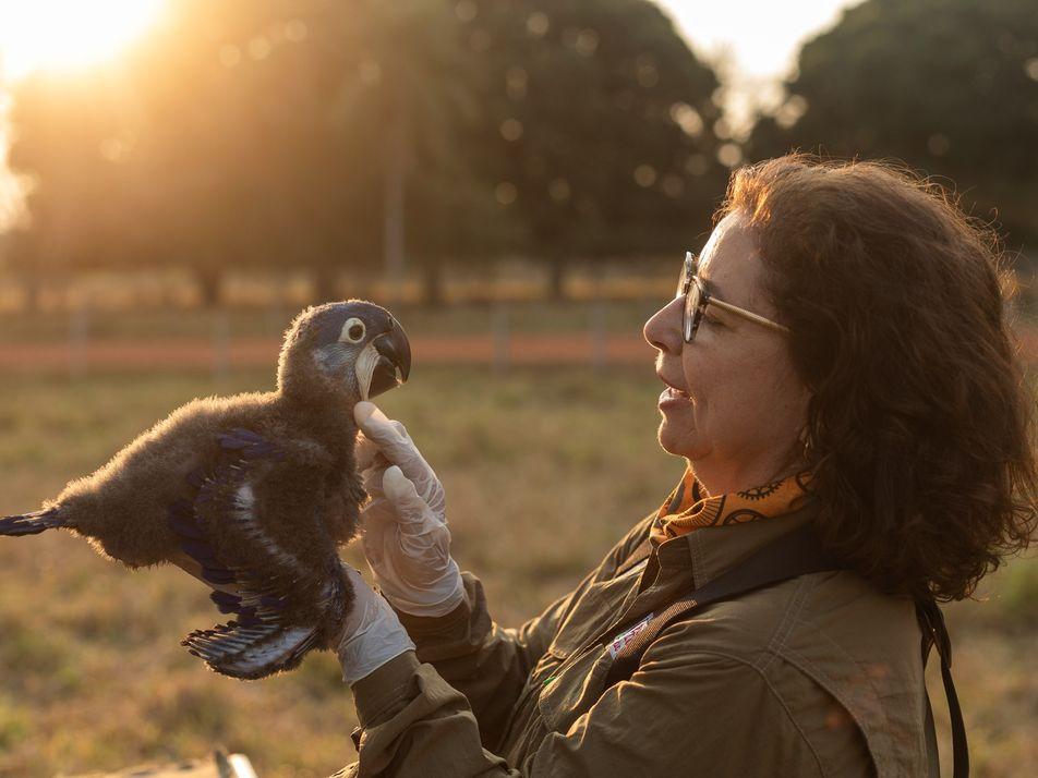 Como o amor desta bióloga pelas araras salvou uma espécie da extinção