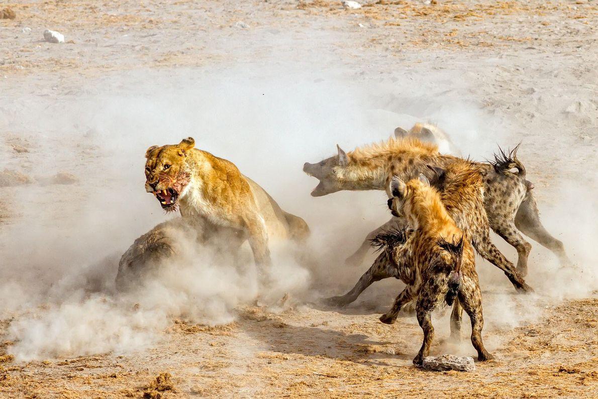 galeria-de-fotos-animais-em-acao-leoes