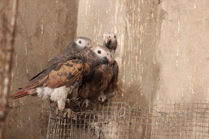 Um grupo de papagaios Timneh, uma subespécie do papagaio-cinzento, capturado por um traficante de animais selvagens ...