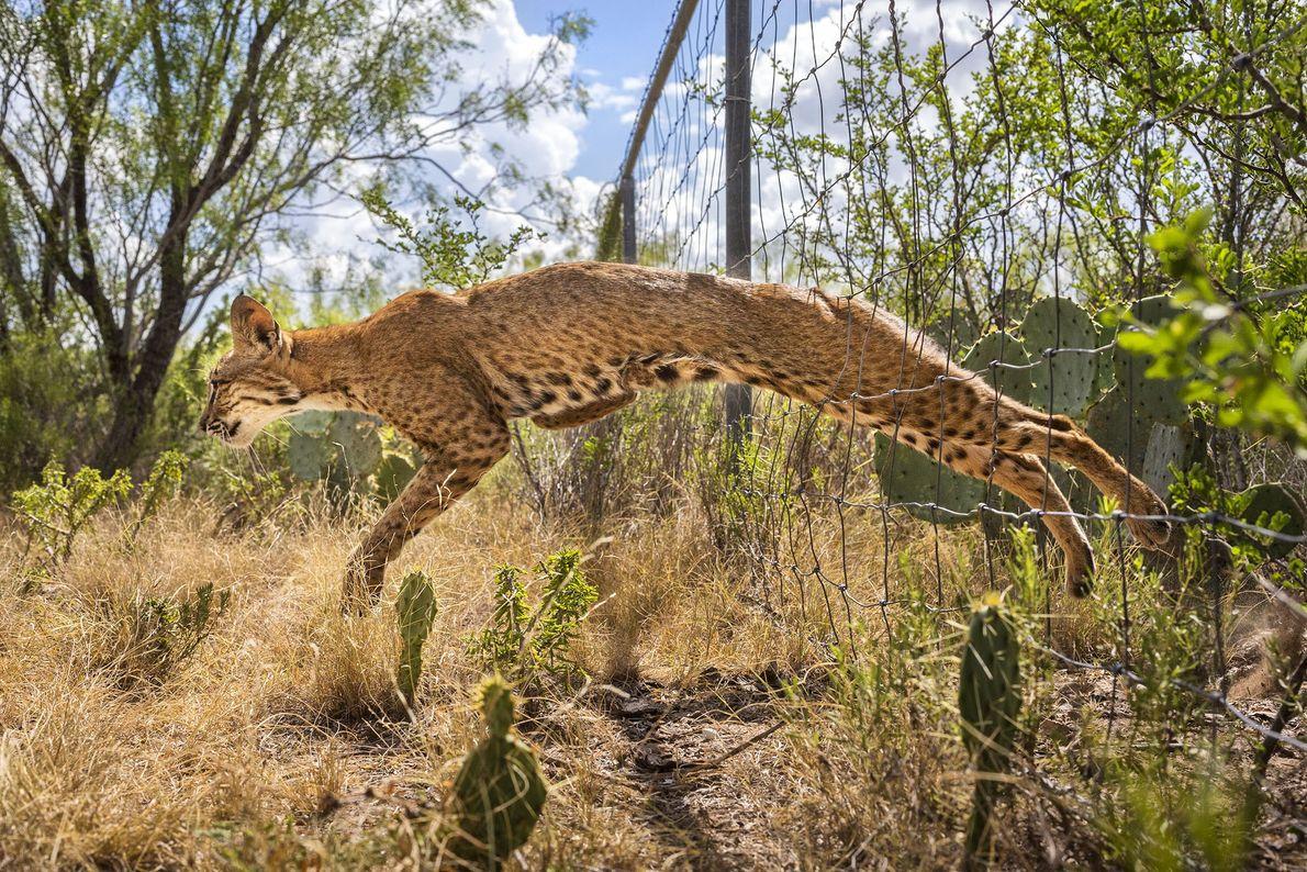 Enquanto outros linces-pardos que apareciam por lá pulavam a cerca, a mãe gata tinha sua própria ...