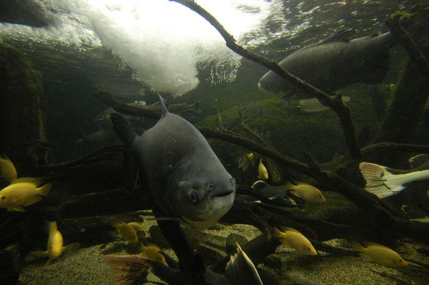Peixes-símbolos da Amazônia em risco por causa das queimadas