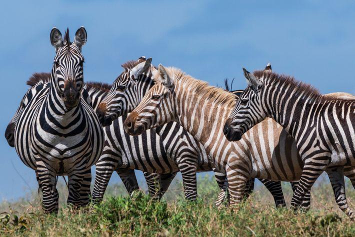 A zebra de aparência única parece ser aceita pelas demais do rebanho. As zebras se reconhecem ...