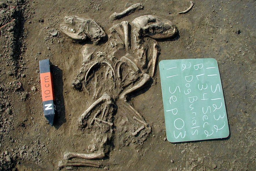 Pesquisadores analisaram a genética de mais de 70 cães antigos que viveram antes da colonização européia ...