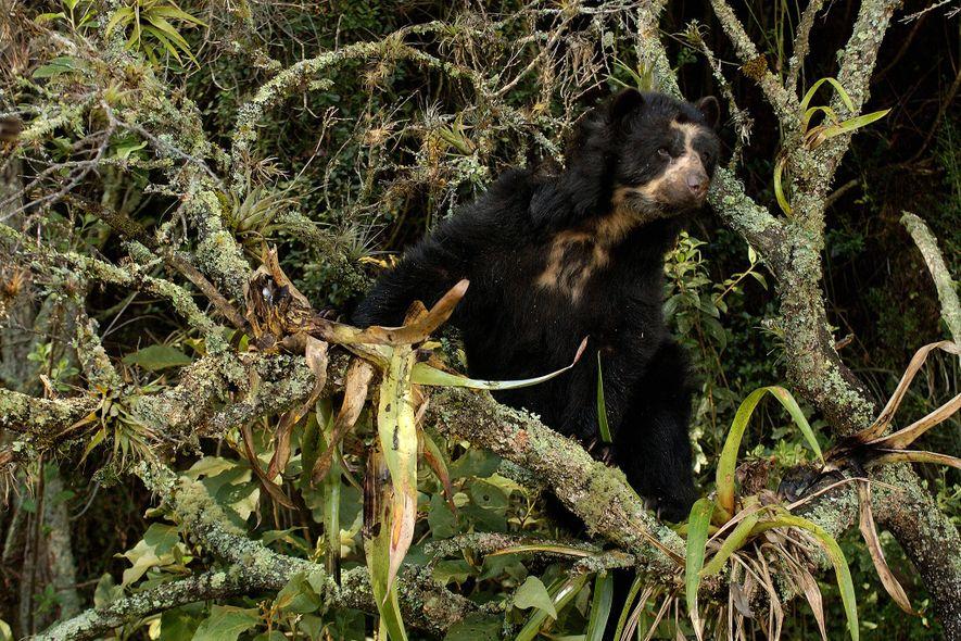 """Os ursos-de-óculos são considerados """"vulneráveis"""" em toda a sua área de ocorrência na América do Sul. ..."""