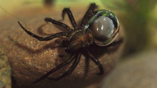 As aranhas da espécie Argyroneta aquatica transportam ar aderido a seu abdômen, proporcionando-lhes uma aparência prateada.