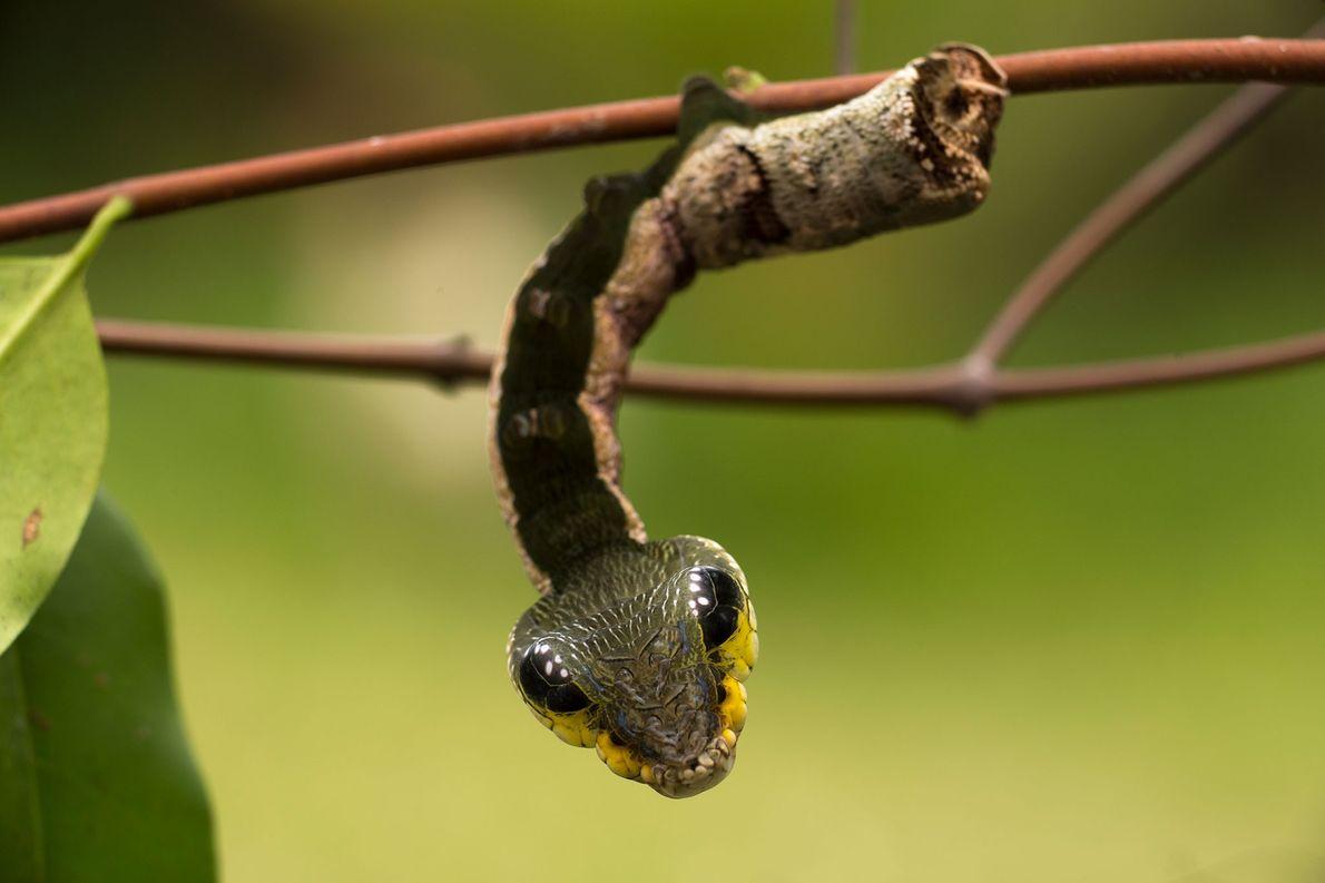 A lagarta que imita cobras: As lagartas das mariposas esfingídeas escapam de predadores imitando as mortais ...