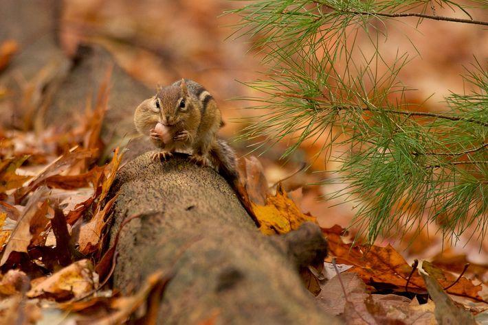 Um esquilo-tâmia enche as bolsas de suas bochechas com frutos do carvalho antes do inverno que ...