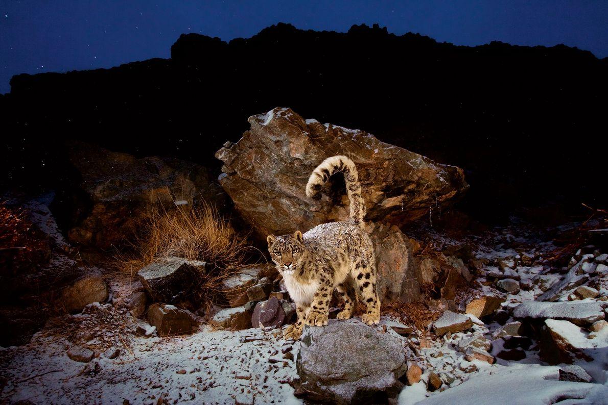 Um leopardo-das-neves passa em frente a uma câmera de uma armadilha. Hemis National Park, Índia.