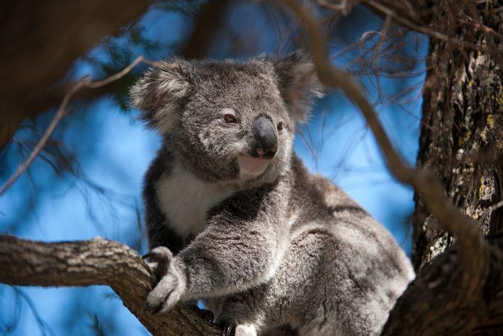 Os coalas, nativos da Austrália, são marsupiais bem adaptados de forma singular a seu ambiente.