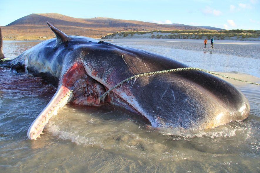 Em novembro de 2019, uma jovem cachalote foi encontrada morta em uma praia na Ilha de ...