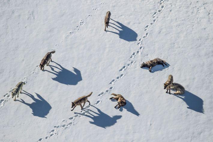 Uma matilha de lobos investiga rastros de urso-pardo no Pelican Valley de Yellowstone.