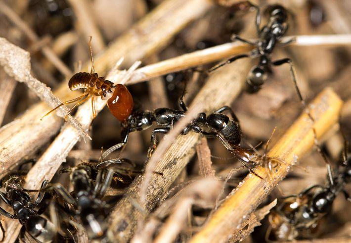 formigas-cura-triagem