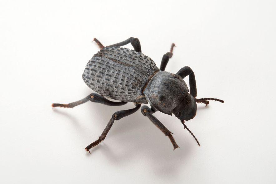Os besouros da subfamília Zopherinae são tão resistentes que engenheiros os estudaram para construir veículos militares ...