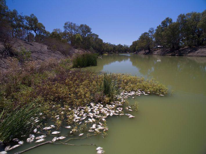 Essa morte em massa de peixes no Rio Darling em Nova Gales do Sul teve ligação ...