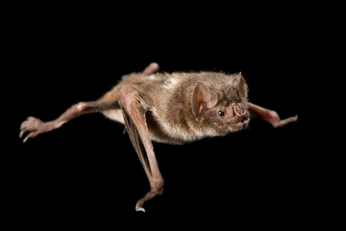 Até 20 morcegos de diversas espécies, incluindo morcegos hematófagos como este, podem ser comprimidos em caixas ...