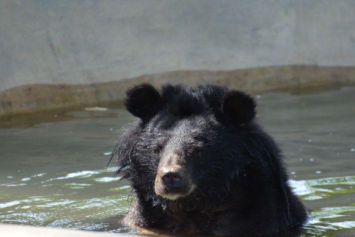 Um urso-negro-asiático dá um mergulho em uma piscina no centro de resgate Free The Bear no ...