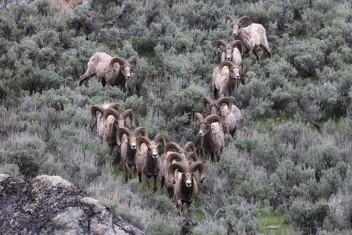 Carneiros-selvagens podem formar grupos, o que facilita a transferência do conhecimento cultural. Este grupo foi fotografado ...